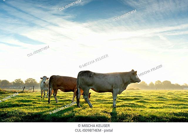 Cows standing in field in early morning sunlight, Netherlands