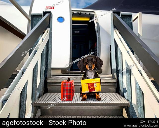 dachshund sausage  dog with luggage bag ready to travel as pet in cabin in plane or airplane as a passanger, for summer vacation holidays