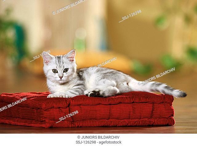 British Shorthair kitten - lying on pillow restrictions:Tierratgeber-Bücher / animal guidebooks