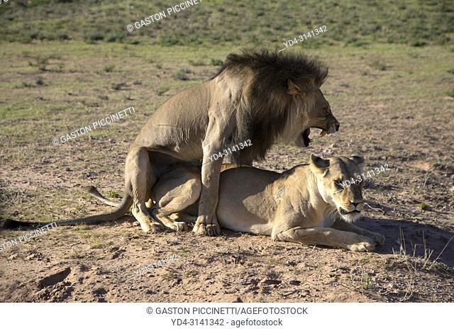 African lion (Panthera leo), meeting, Kgalagadi Transfrontier Park, Kalahari desert, South Africa/Botswana