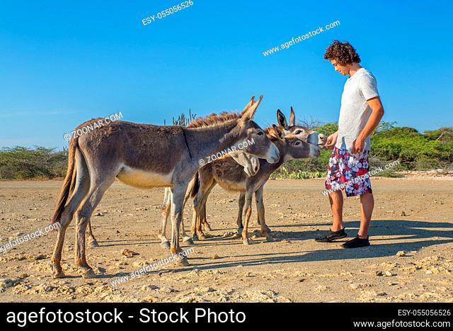 Young dutch man feeding group of wild donkeys on island Bonaire