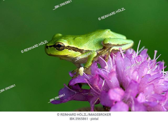 European Tree Frog or Treefrog (Hyla arborea), young, Burgenland, Austria