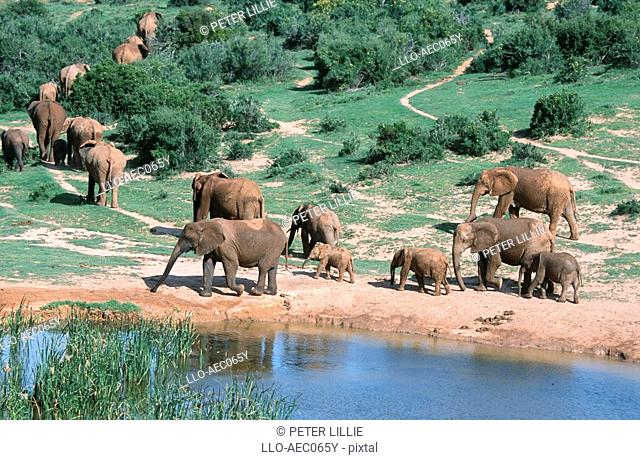 High Angle View of an African Elephant Loxodonta africana Herd Leaving the Waterhole  Addo Elephant National Park, Eastern Cape Province, South Africa