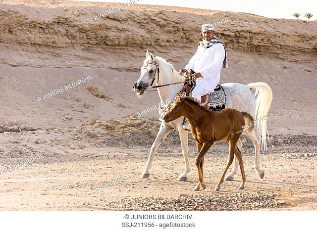 Arab Horse. Rider on gray mare trotting in the desert, accompanied by her foal. Egypt