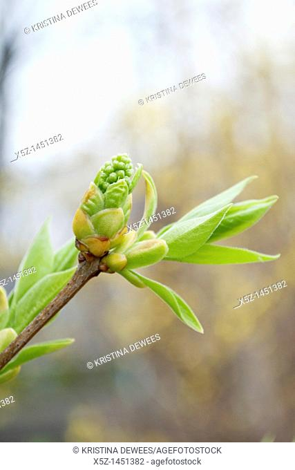 The bud of a white Lilac bush in Spring