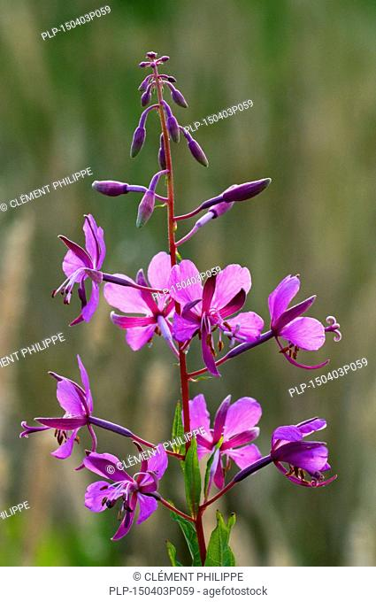 Rosebay willowherb / fireweed / great willow-herb (Chamerion angustifolium) in flower