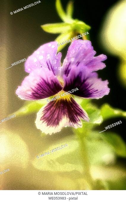 Pansy Flower and a Bud. viola x wittrockiana. July 2006. Maryland, USA