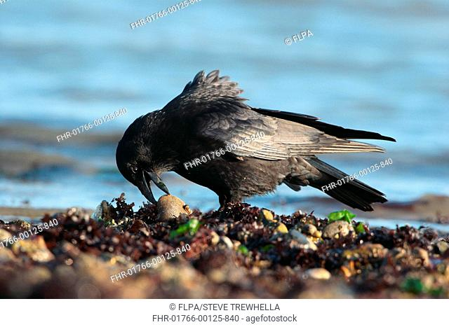 Carrion Crow Corvus corone adult, foraging on seashore at low tide, Poole Harbour, Dorset, England, february