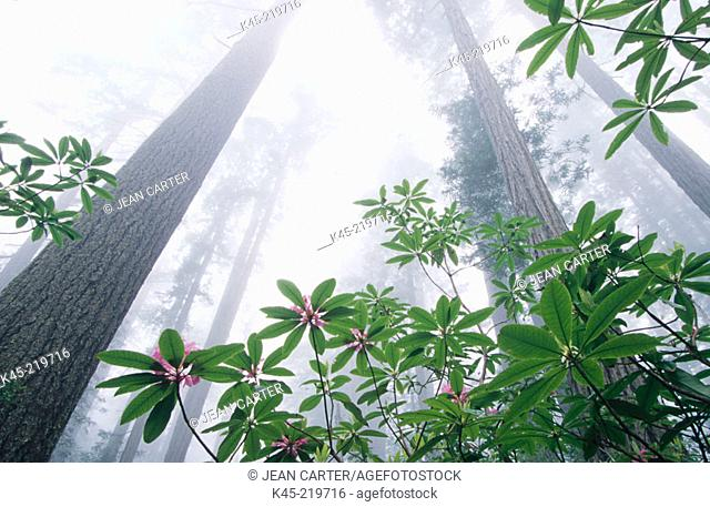 Redwood (Sequoia sempervirens) and Rhododendron. Redwood National Park. Northern California. USA