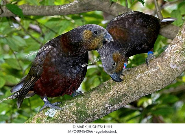 North Island Kaka (Nestor meridionalis septentrionalis) pair preening, New Zealand