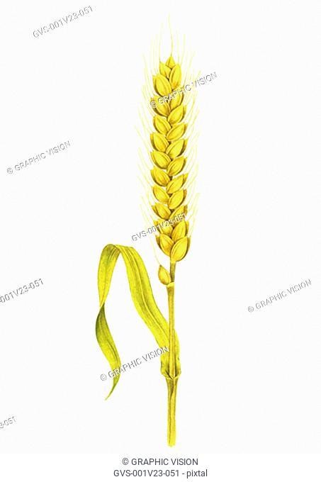 Illustation of a Stalk of Wheat