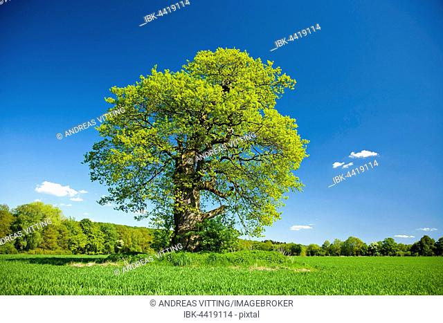 Solitary old oak (Quercus robur) on field in spring, Huteeiche, Hutebaum, fresh green leaves, Reinhardswald, Beberbeck, Hesse, Germany