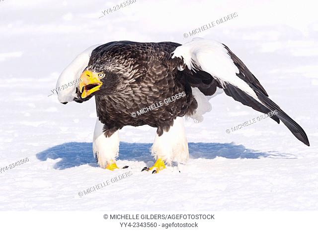 Steller's Sea Eagle, Haliaeetus pelagicus, on the ice, Rausu, offshore Hokkaido, Sea of Okhotsk, Japan