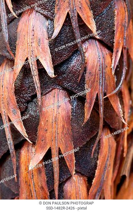 Close-up of a Douglas Fir cone Pseudotsuga menziesii