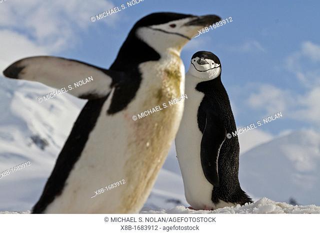 Adult chinstrap penguins Pygoscelis antarctica at breeding colony at Half Moon Island, Antarctica, Southern Ocean