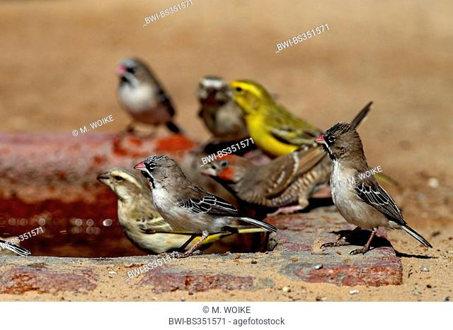 scalyfeathered finch (Sporopipes squamifrons), small group sitting at a waterhole, South Africa, Kgalagadi Transfrontier National Park