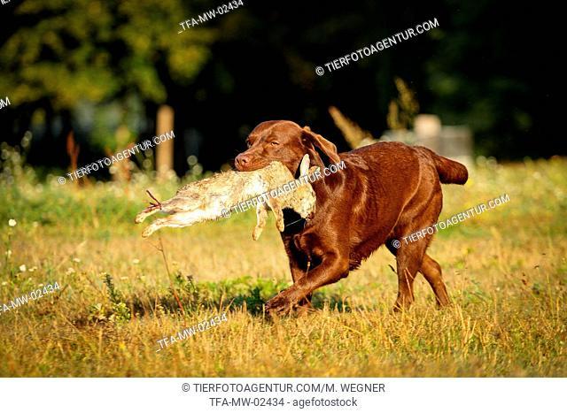 Labrador on rabbit hunt