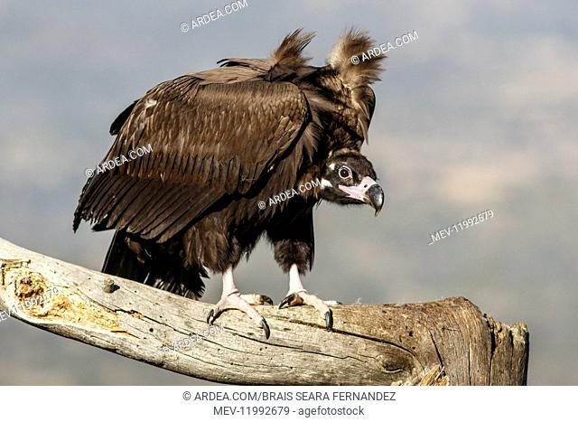 Cinereous Vulture - perched on a branch - Castile and Leon, Spain