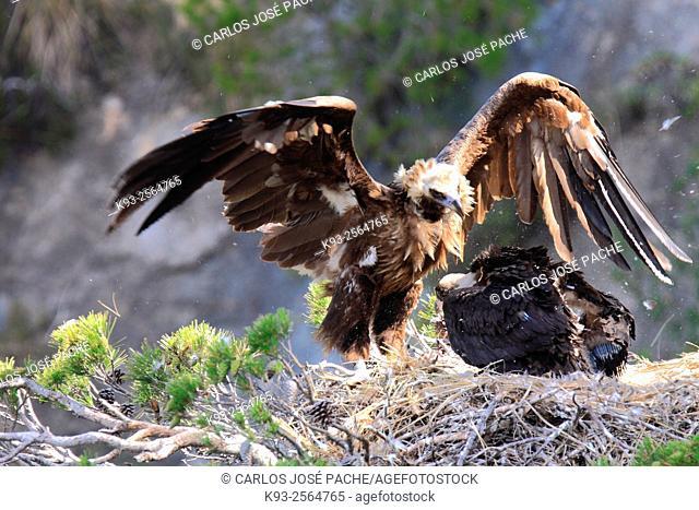 Cinereous vultures (Aegypius monachus). Serra de Tramuntana, Mallorca, Balearic Islands, Spain