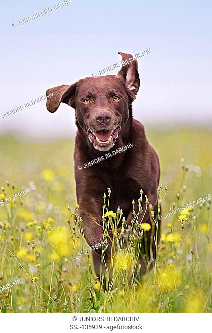 Labrador Retriever - running on meadow restrictions: Tierratgeber-Bücher / animal guidebooks