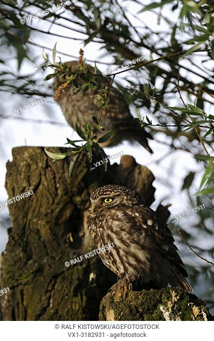 Little Owl / Owls ( Athene noctua ), old adult with young juvenile together, perched on an old willow tree