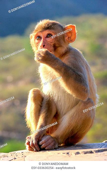 Backlit Rhesus macaque (Macaca mulatta) sitting near Galta Temple in Jaipur, India. The temple is famous for large troop of monkeys who live here