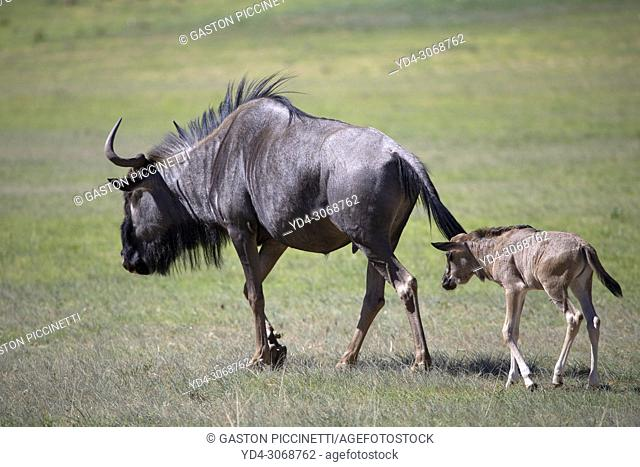 Blue wildebeest (Connochaetes taurinus) - Mother and calf, Kgalagadi Transfrontier Park, Kalahari desert, South Africa/Botswana