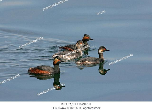 Black-necked Grebe Podiceps nigricollis four swimming, varying degrees of summer plumage, Extremadura, Spain, march