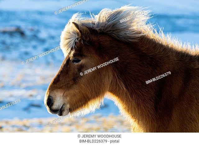 Back lit portrait of Icelandic horse