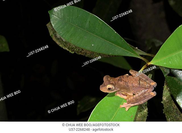 Harlequin tree frog Rhacophorus pardalis. Image taken at Kubah National Park, Sarawak, Malaysia