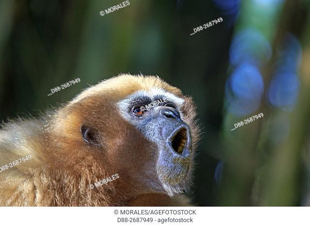 South east Asia, India,Tripura state,Gumti wildlife sanctuary,Western hoolock gibbon (Hoolock hoolock), adult female howling
