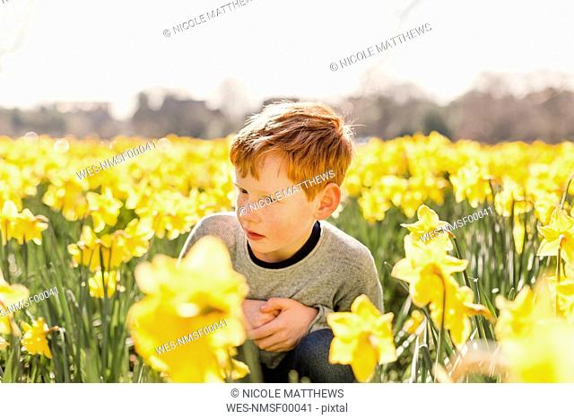 Redheaded little boy crouching in daffodil field