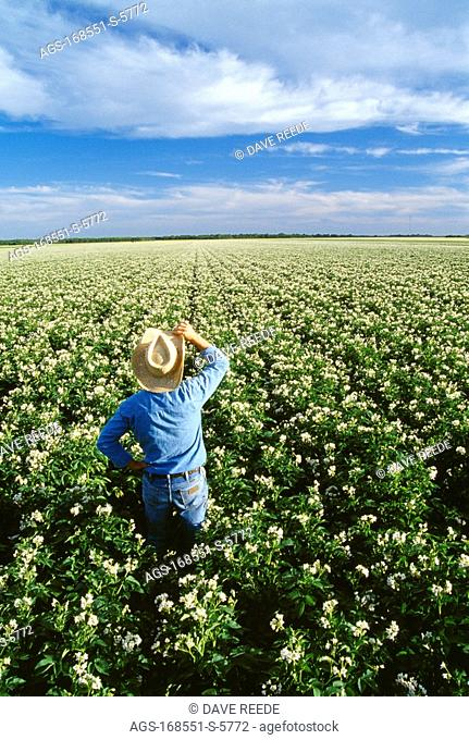 Agriculture - A farmer looks out across his field of mid growth bloom stage potatoes inspecting his crop / near Portage la Prairie, Manitoba, Canada