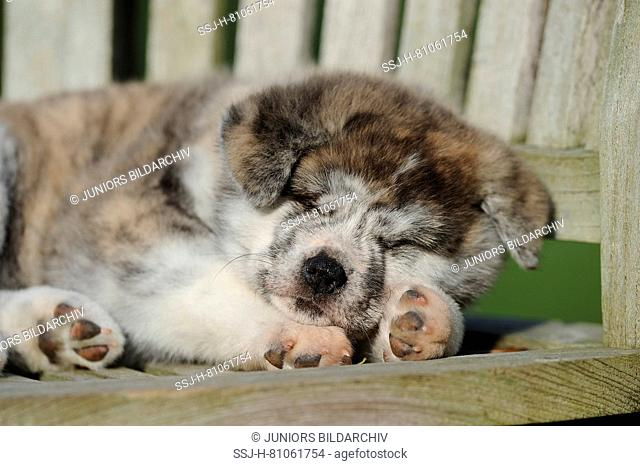 Akita Inu. Puppy sleeping on a wooden bench. Germany