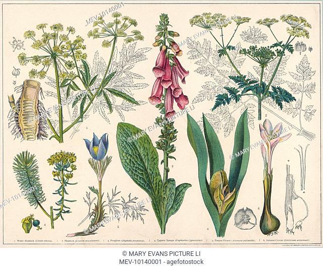 Water Hemlock (Cicuta Virosa); Conium Maculatum; Digitalis Purpurea; Cypress Spurge (Euphorbia Cyparissias); Pasque Flower (Anemone Pulsatilla); Autumn Crocus