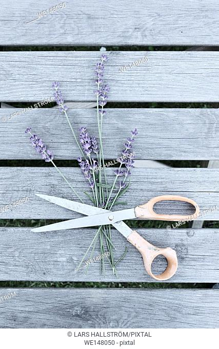 Lavender flowers and scissors on garden table. Still life with top view