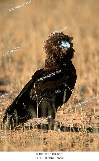 Close-up of a Bataleur Eagle Terathopius ecaudatus in the Veld  Moremi Wildlife Reserve, Botswana