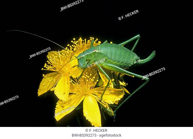 Large Speckled Bush-cricket, Large Speckled Bushcricket (Isophya pyrenaea, Isophya pyrenea), female on a flower, Germany