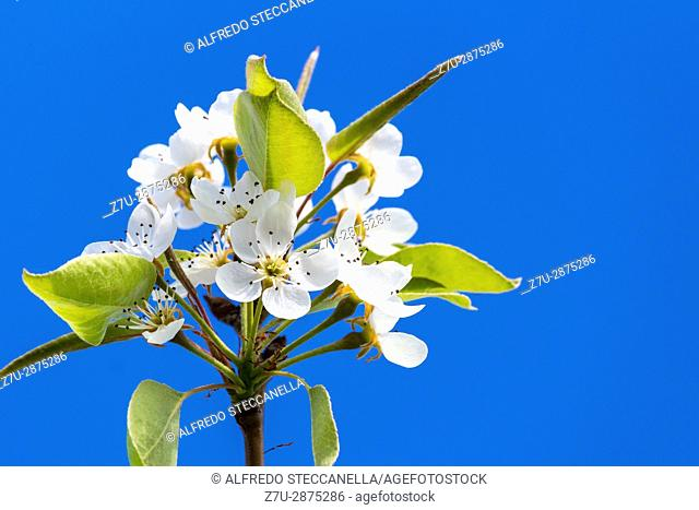 Pear tree's flower in the background of an azure sky