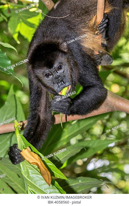 Montled Howler monkey (Alouatta palliata), male feeding on tree leaves in rainforest canopy, Cahuita National Park, Costa Rica
