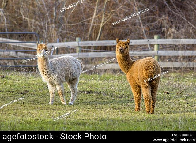 Two alpacas look at the camera in a pasture near Coeur d'Alene, Idaho
