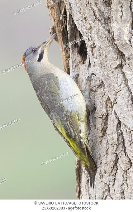 Levaillant's Woodpecker (Picus vaillantii), adult female at the entrance of an old nest