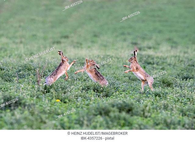 Hares (Lepus europaeus), boxing, National Park Lake Neusiedl, Burgenland, Austria