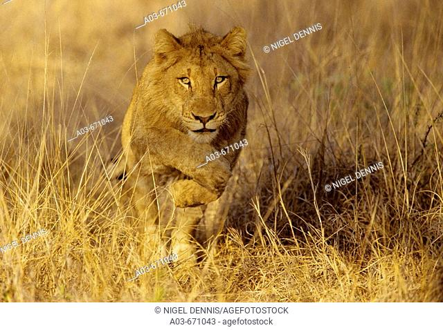 Young lion, Panthera leo, running, Kruger National Park, South Africa