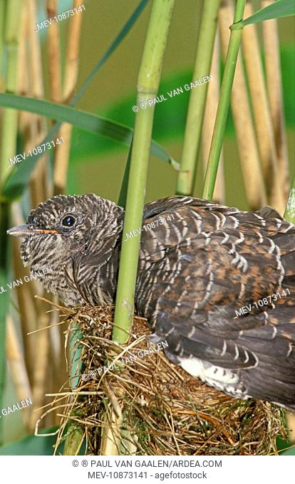 Common Cuckoo - Juvenile is growing too big for nest of the reed warbler (Cuculus canorus). The Netherlands, Overijssel