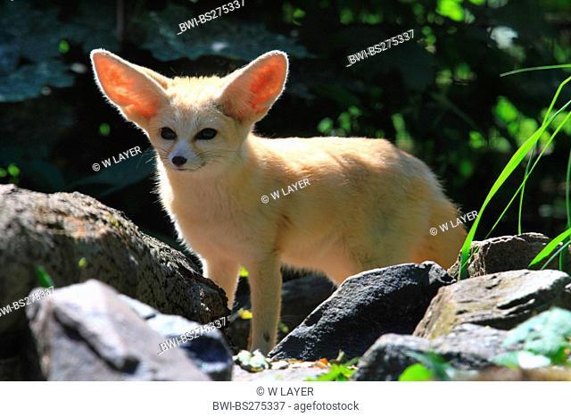 fennec fox Fennecus zerda, Vulpes zerda, standing on rocks watching