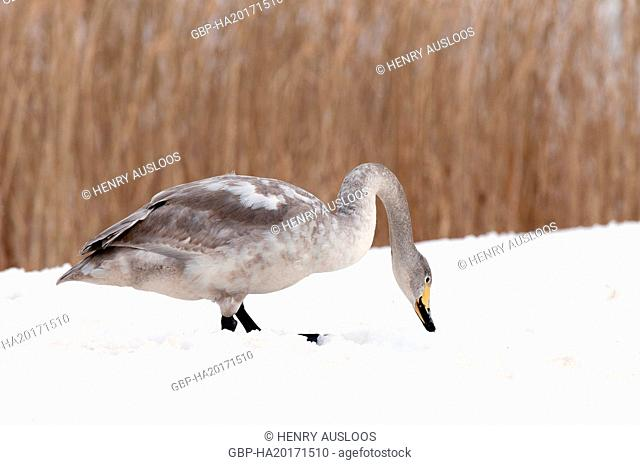 Whooper swan (Cygnus cygnus) young and adult, Japan
