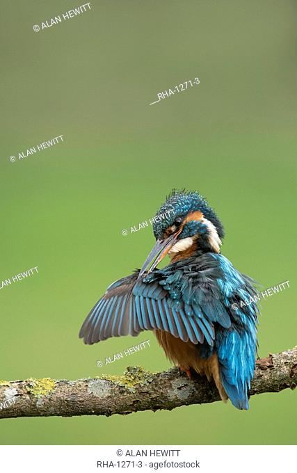 Female common kingfisher (Eurasian kingfisher) (Alcedo atthis) preening wings in West Yorkshire, England, United Kingdom, Europe