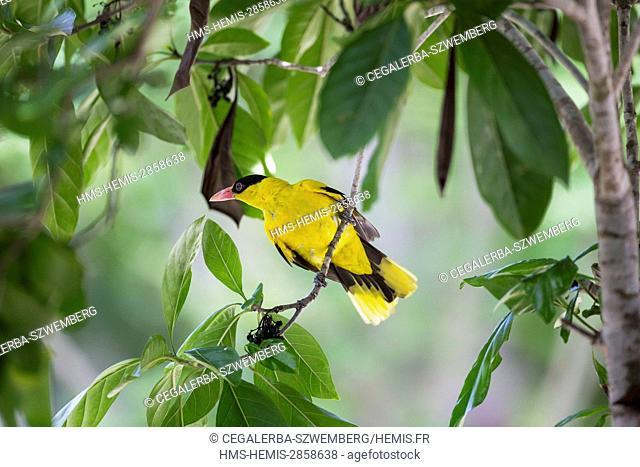 Philippines, Mindoro, Apo Reef Natural Park, Apo Island, Black-naped Oriole (Oriolus chinensis)