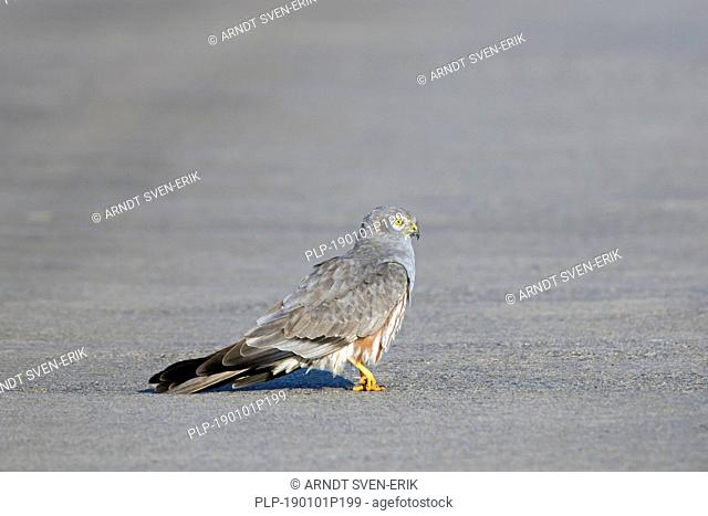 Montagu's harrier (Circus pygargus), male walking in the middle of rural road